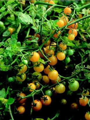 wild tomato gelbe johannisbeere. Black Bedroom Furniture Sets. Home Design Ideas