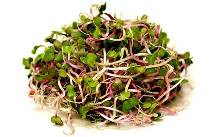 Organic radish China rose seeds for sprouting